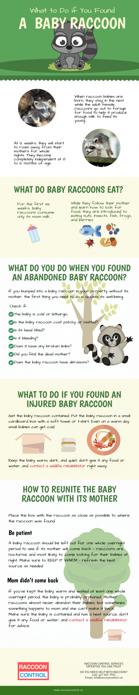 What to do if you found a baby racoon